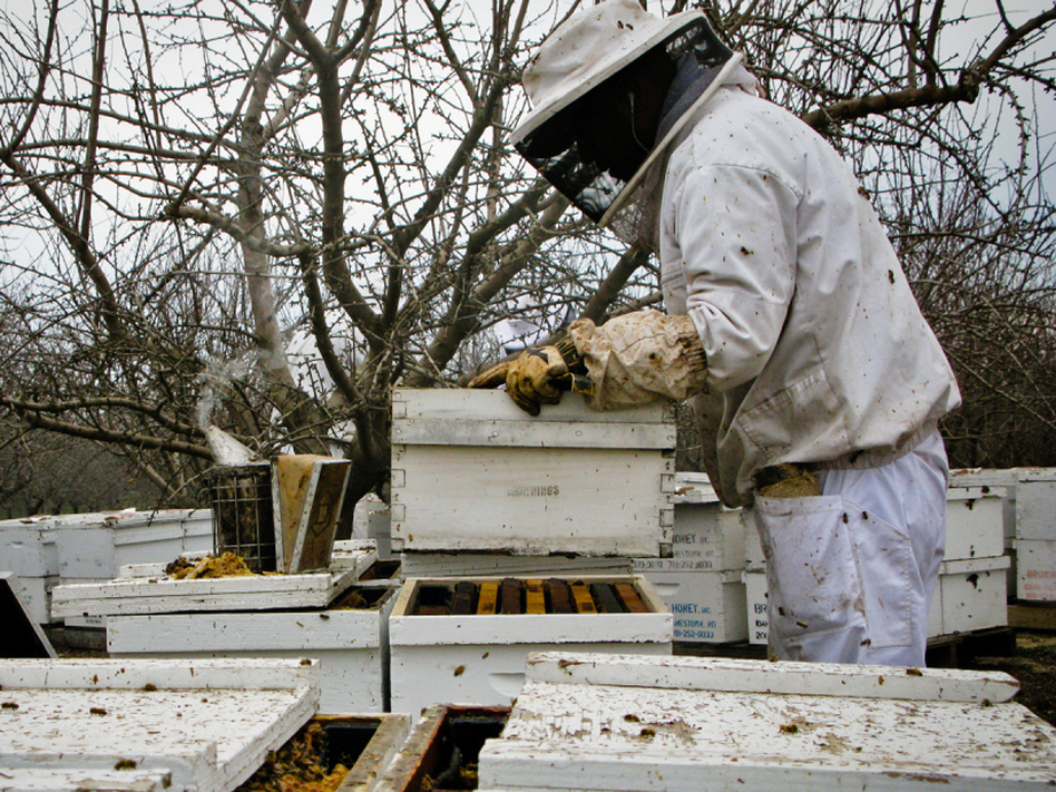 Workers unload beehives near Snelling, Calif. in preparation for the almond blossoms. (Dan Charles/NPR)
