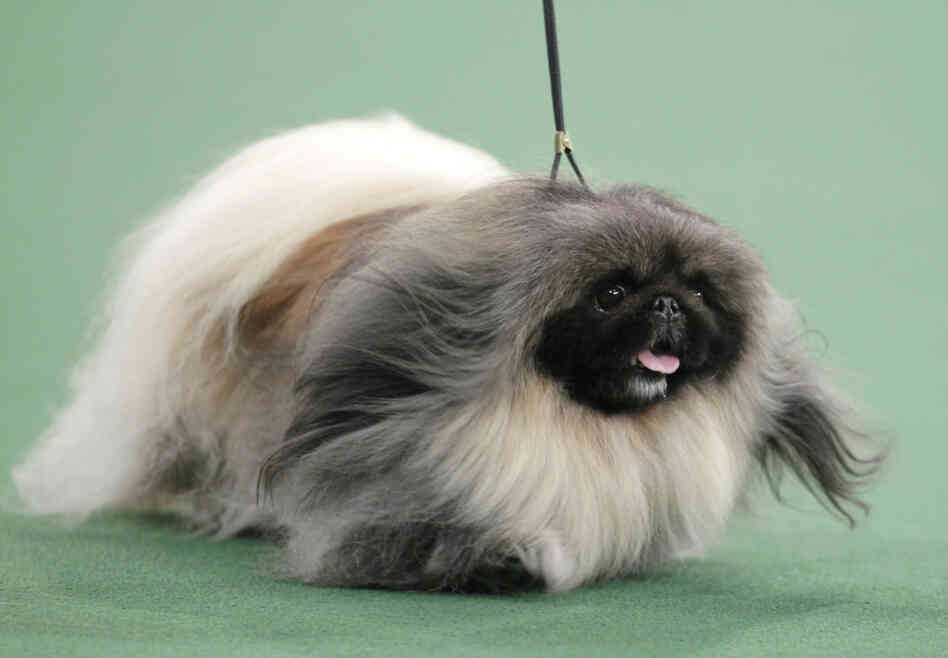 Malachy, a Pekingese, won best in show at the 136th ann