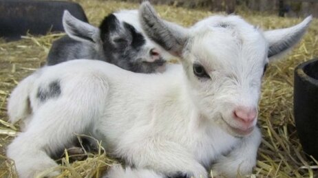 A goat kid.