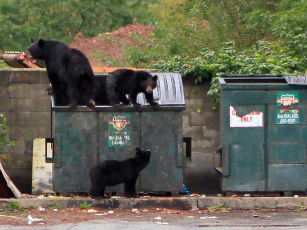 A family of bears investigates a Dumpster behind a diner in Pomona, N.Y., last fall. Black bears are becoming more common in populated areas around the United States.