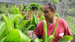 Women's Correctional Community Center inmate Lilian Hussein checks on ti leaves she planted as part of the prison's farming and gardening program in Kailua, Hawaii. The green ti leaves are often used to wrap food or weave into leis.