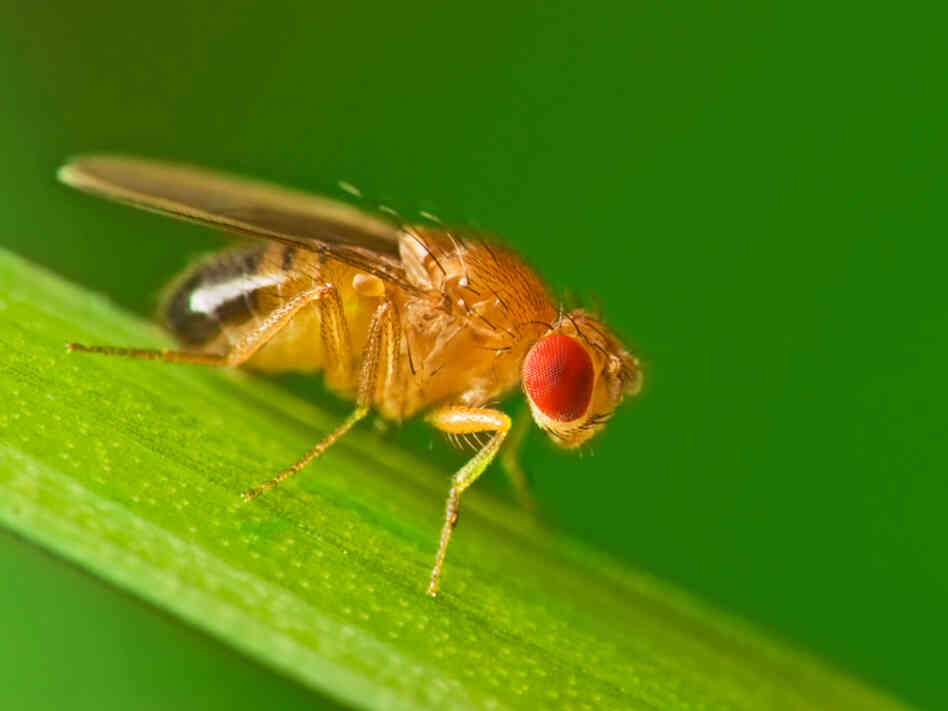 Fruit fly worms