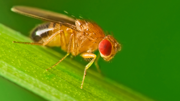 Fruit flies will drink alcohol from fermenting fruit to kill off wasp parasites that can grow inside of them. (iStockphoto.com)