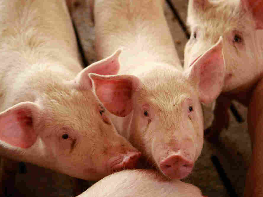 Many livestock groups say there's no evidence that antibiotics in livestock feed have caused a human health problem, but researchers beg to differ.