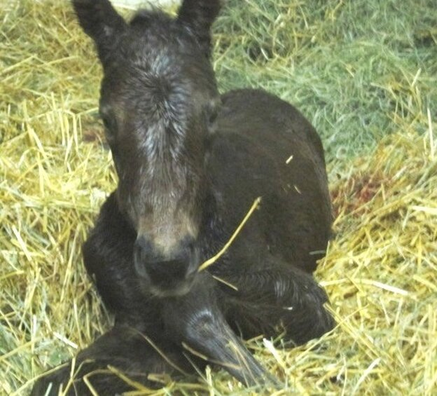 About seven minutes after birth: the colt born the night NPR spent with Eduardo Terrazas