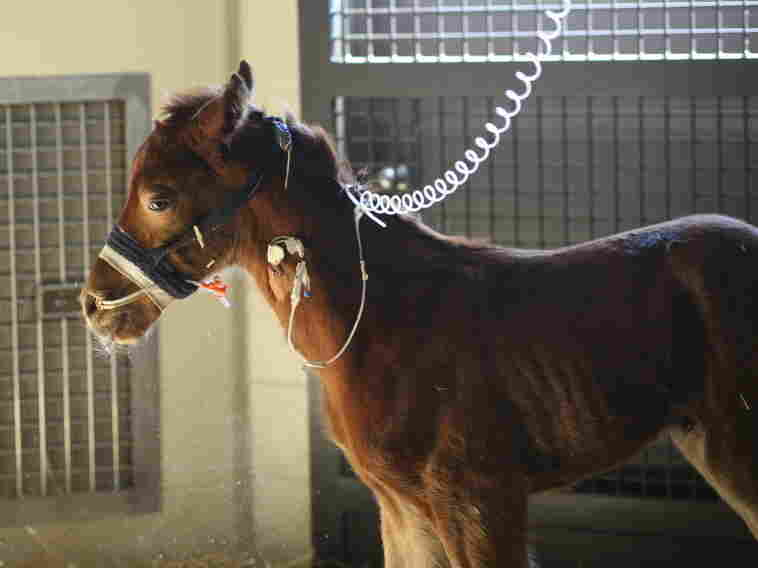 A newborn colt in one of the Rood & Riddle Equine Hospital's intensive care units.