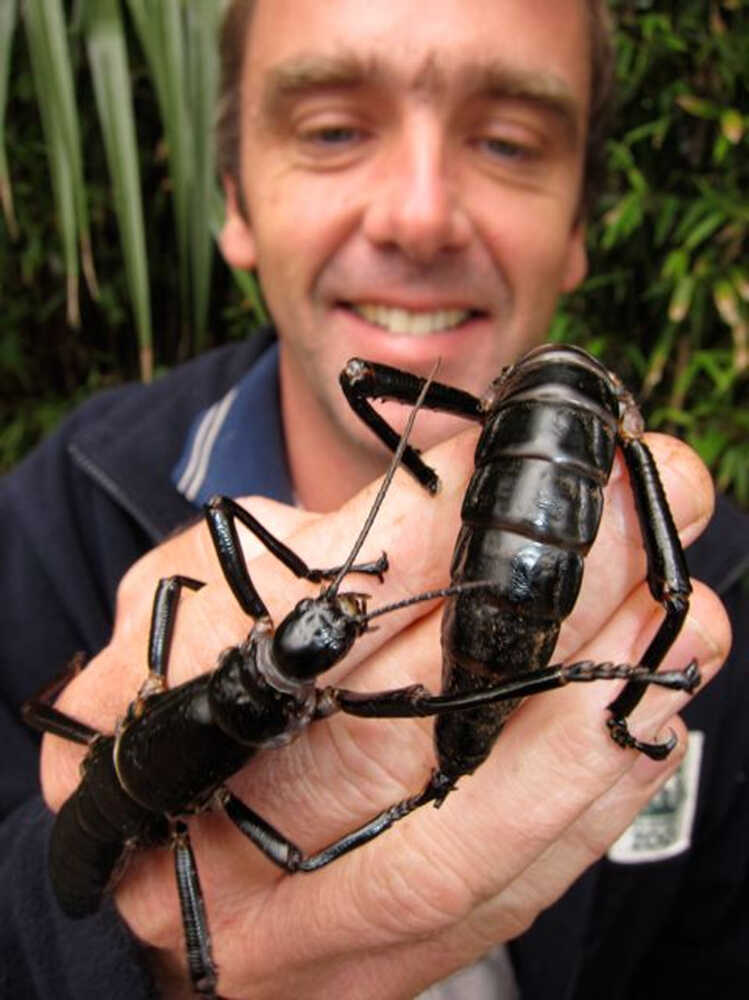 Patrick Honan holds two of the rare Lord Howe Island stick insects.