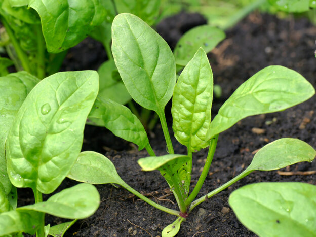 Plant now, and in a month your spinach might look like this. It's a hardy plant that can survive late frost.