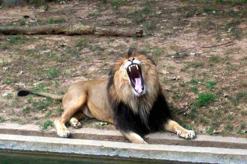 Aaron Snyder, 11: I took this picture of a lion at the Washington Zoo when I was 9. I like this picture because I took the picture at the right instant, when the lion's mouth was gaping open.