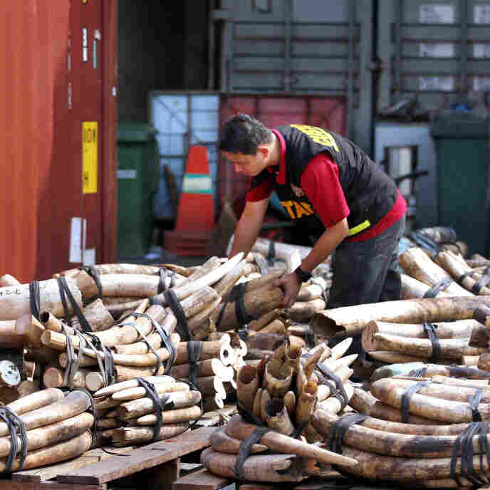 A Malaysian customs official examines elephant tusks at a port in Kalang. Malaysia has become an ivory transit hub, with African elephant tusks bound for China. Worldwide, authorities seized more than 5,000 smuggled tusks.