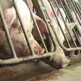 States Crack Down On Animal Welfare Activists And Their Undercover Videos