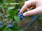 Designers of a food forest in Seattle want to make blueberry picking a neighborly activity.