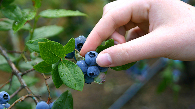 Designers of a food forest in Seattle want to make blueberry picking a neighborly activity. (iStockphoto.com)