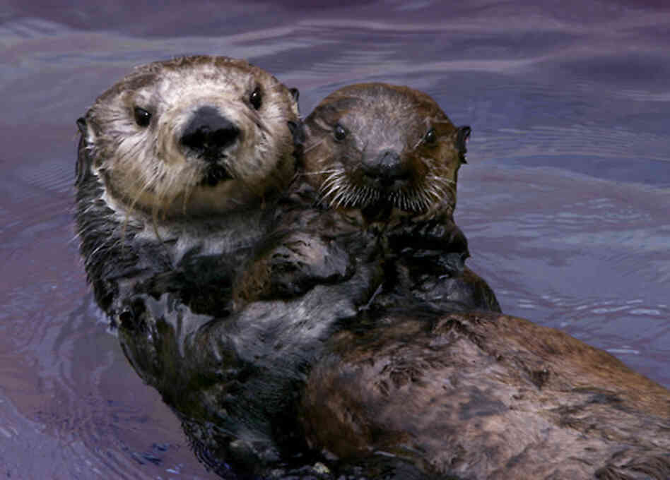 Toola, the southern sea otter, with a surrogate pup.