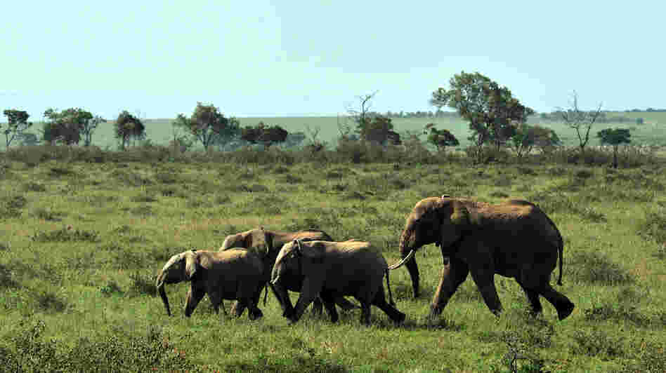 A family of elephants in Kenya's Maasai Mara game reserve.