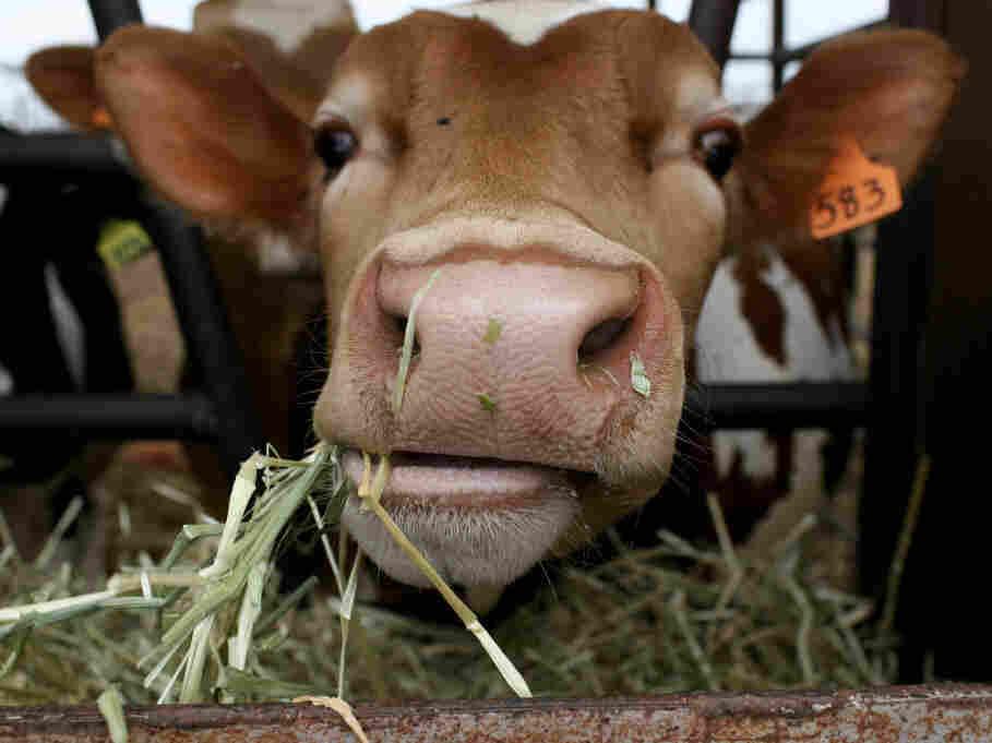 A cow eats hay