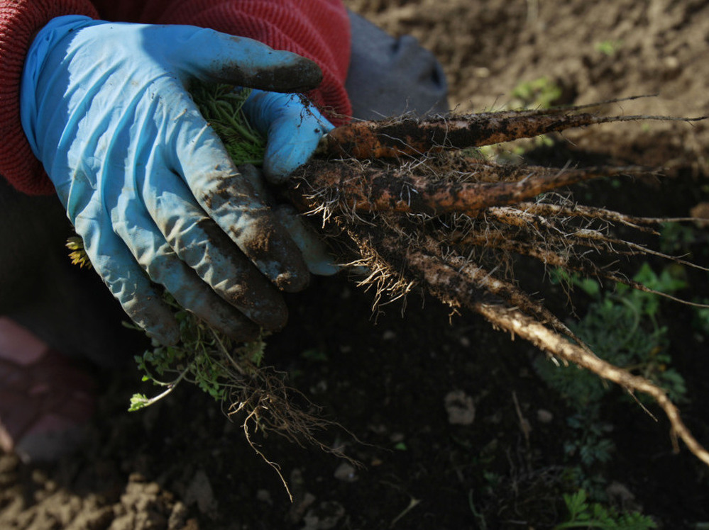 Farmer Sumiko Matsuno picks carrots on her farm as she explains her fears no one will buy them with the radiation fallout in March 2011 in Fukushima, Japan. A year later, challenges persist for farmers in the region.