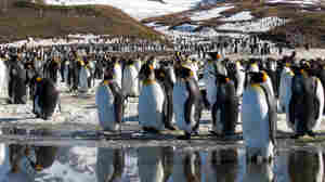 King penguins as seen in Discovery's new series, Frozen Planet.
