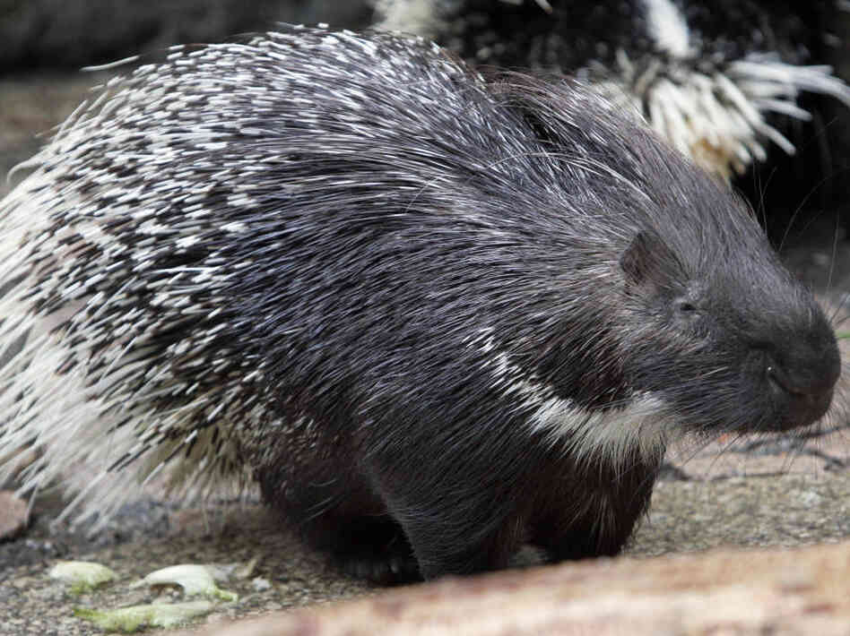 The Porcupine Black Market Comes To Pennsylvania : Planet Money : NPR