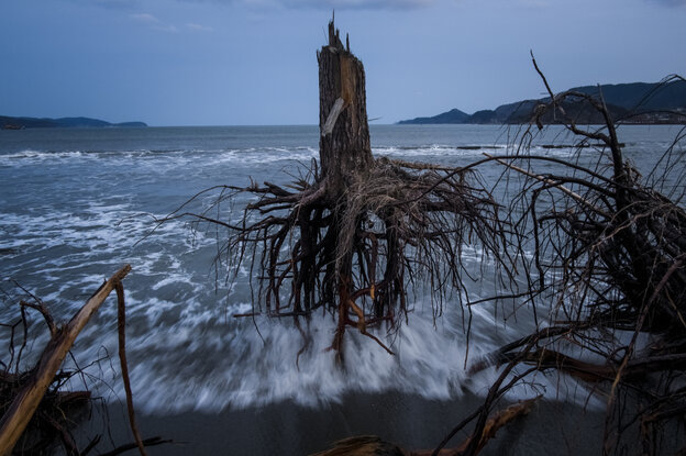 Pine trees, uprooted during last year's tsunami, lay strewn over the beach in Rikuzentakata, Japan.