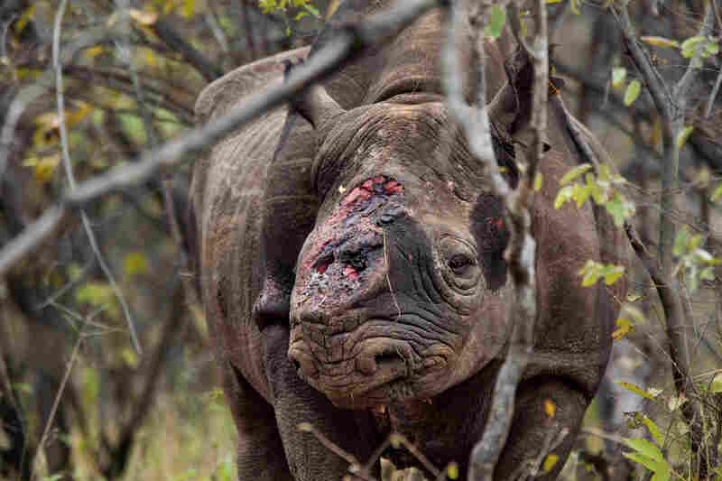 Game scouts found this black rhino bull wandering Zimbabwe's Save Valley Conservancy after poachers shot it several times and cut off both its horns. Veterinarians had to euthanize the animal because its shattered shoulder couldn't support its weight. In the past six years, poachers have killed more than 1,000 African rhinos for their horns, many of which are smuggled to Asia for use in traditi...