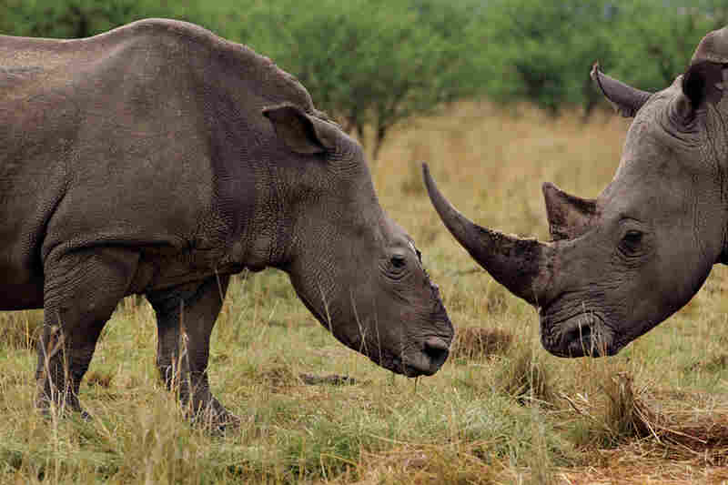 A white rhino cow (left) grazes with a bull that has become her companion after a poaching attack in KwaZulu-Natal Province, South Africa. Using a helicopter, a gang tracked her and her four-week-old calf, shot her with a tranquilizer dart, and cut off her horns with a chain saw. Rangers found her a week later, searching for her calf, which had died, probably of starvation and dehydration.