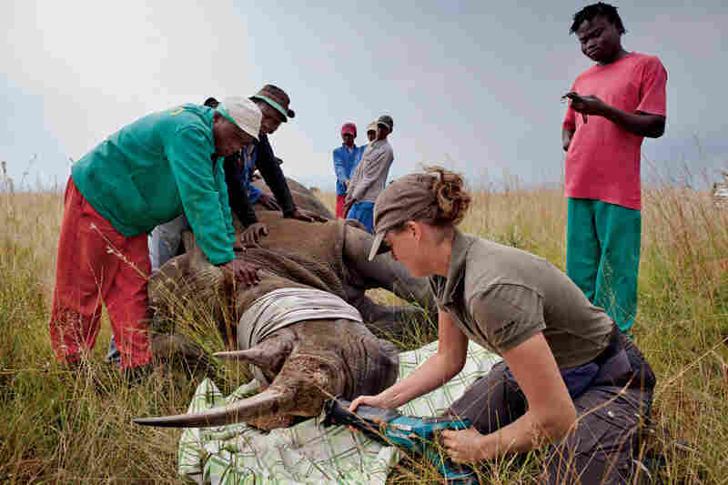 A veterinarian cuts the horns from an anesthetized white rhino cow at a game farm in North-West Province, South Africa. The procedure takes about 20 minutes. Composed of keratin — the protein that is the basis for wool, feathers, beaks and hooves — the two horns grow back in about two years. Cutting the horns this way, some believe, will reduce the risk of poaching.