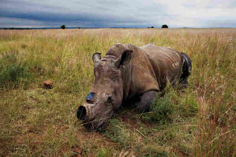 The anesthetized rhino is left to wake up in a field after the dehorning procedure.