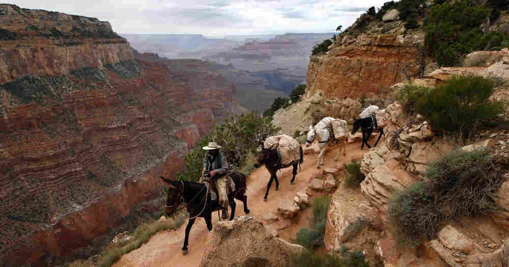 Mules have carried people and supplies in Grand Canyon National Park for more than a century. Now they have a chiropractor to soothe their aching muscles.