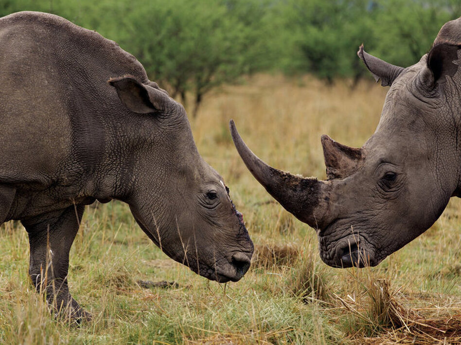 A white rhino cow (left) grazes with a bull that has become her companion after a poaching attack in KwaZulu-Natal Province, South Africa. (Brent Stirton/National Geographic)