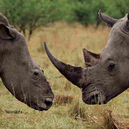 A white rhino cow (left) grazes with a bull that has become her companion after a poaching attack in KwaZulu-Natal Province, South Africa.