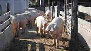 Ag-Gag Law Blows Animal Activists' Cover