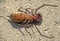 "According to the Dictionary of American Regional English, ""vinegarroon"" is another name for the whip scorpion, which produces a vinegary smell."