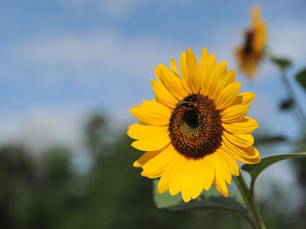 Sunflowers in Birmingham, Ala.