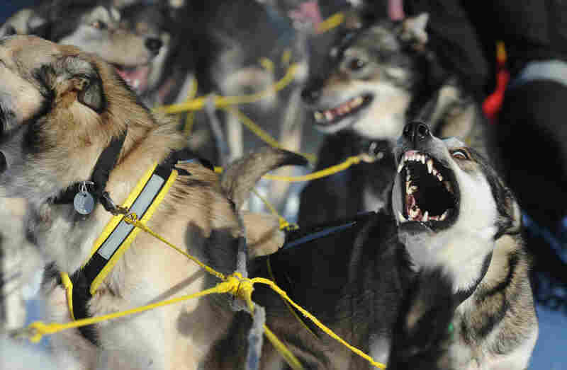 A thousand dogs and 66 mushers hit the trail during the official restart in Willow, Alaska, on March 4.