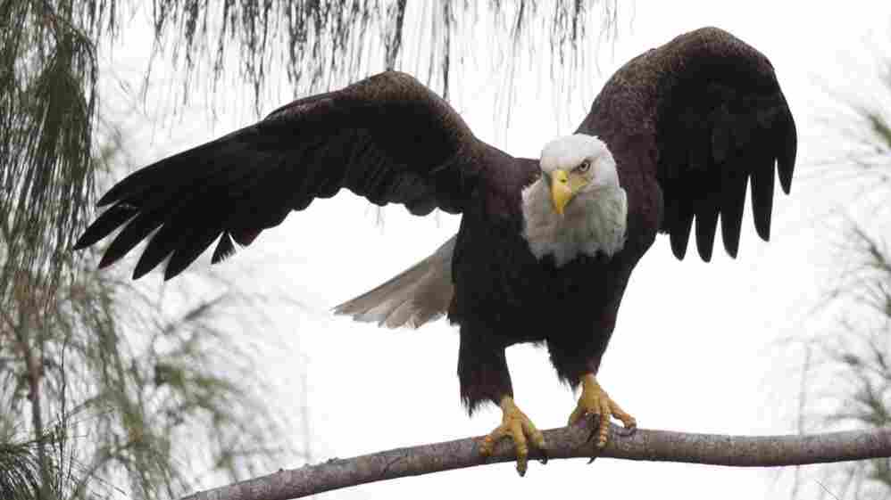 A bald eagle prepares for flight. The Northern Arapaho Tribe in Wyoming has won an unprecedented permit to hunt two bald eagles for use in religious ceremonies.