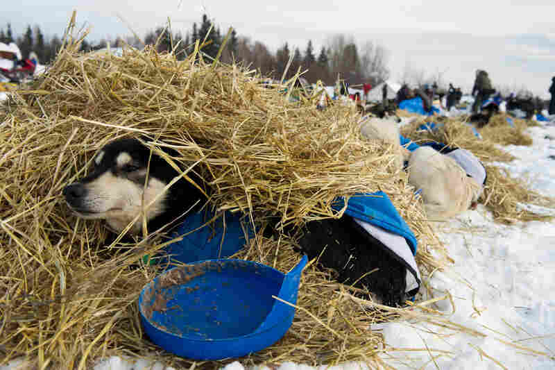 Toby, a leader for musher Nicolas Petit, rests in straw in Nikolai, Alaska, on March 6.