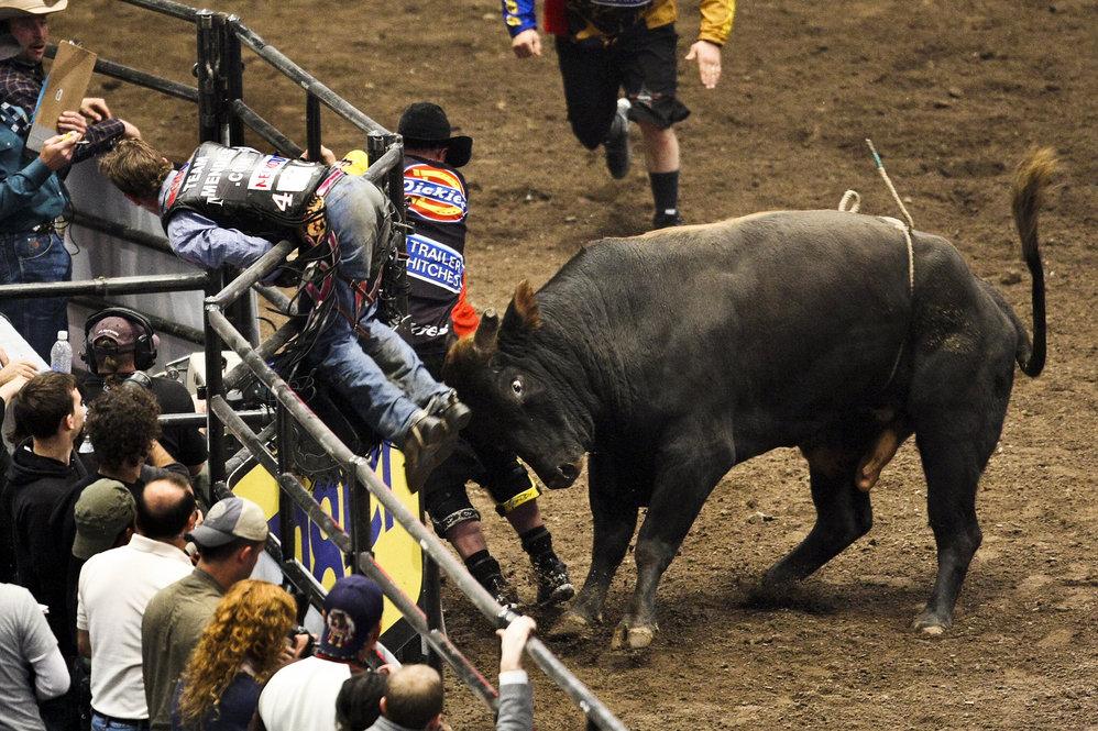 The Rodeo Circuit Bucking Bulls And Broken Bones Ncpr News