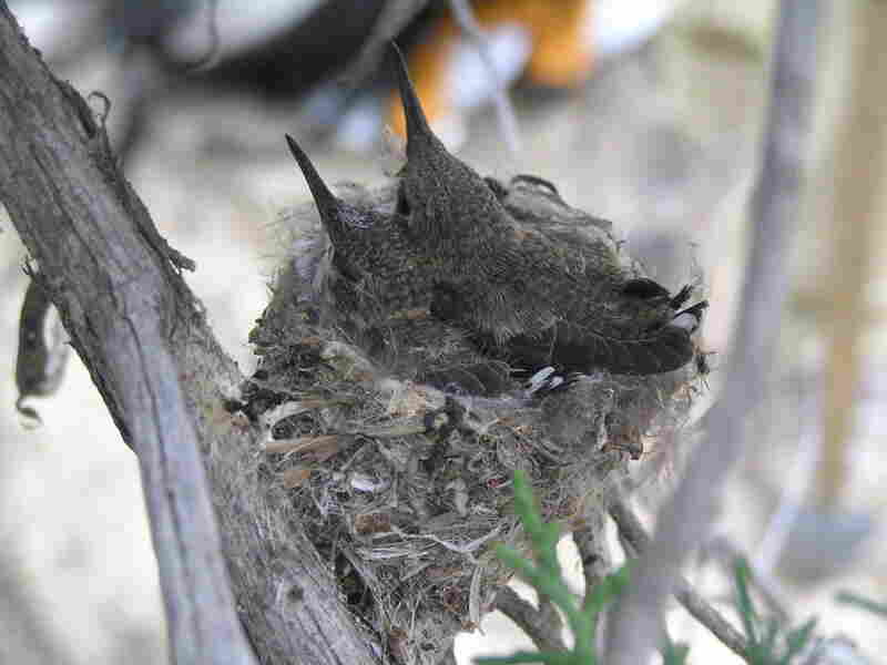 Black-chinned hummingbirds are drawn to noisy sites near natural gas well compressors, possibly to avoid Western scrub jays, which prey on their eggs and chicks.
