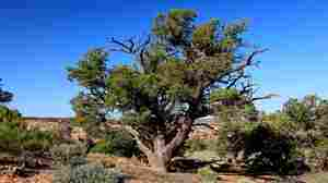 Pinon pine trees like this one dominate Rattlesnake Canyon.