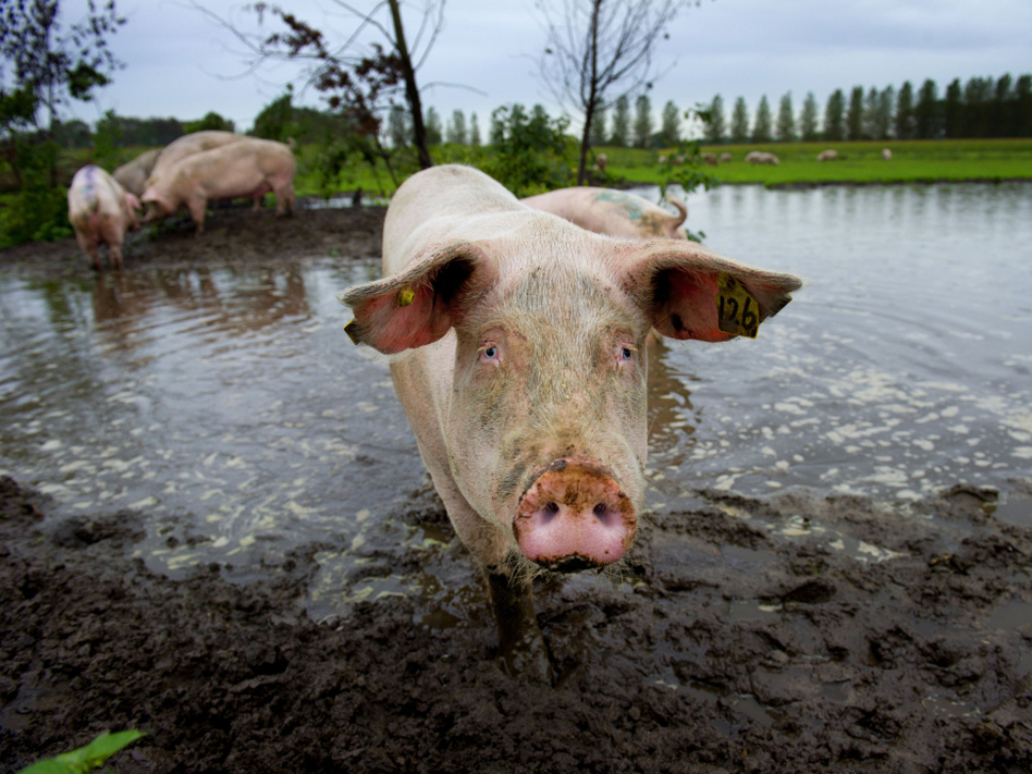 Pigs take a mud bath at the De Jofrahoeve pig farm in Esch, Netherlands. Dutch farmers treat their animals with almost three times the antibiotics that their Danish neighbors use.