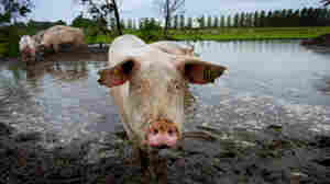 Europe's Mixed Record On Animal Antibiotics