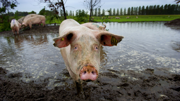 Pigs take a mud bath at the De Jofrahoeve pig farm in Esch, Netherlands. Dutch farmers treat their animals with almost three times the antibiotics that their Danish neighbors use. (AFP/Getty Images)