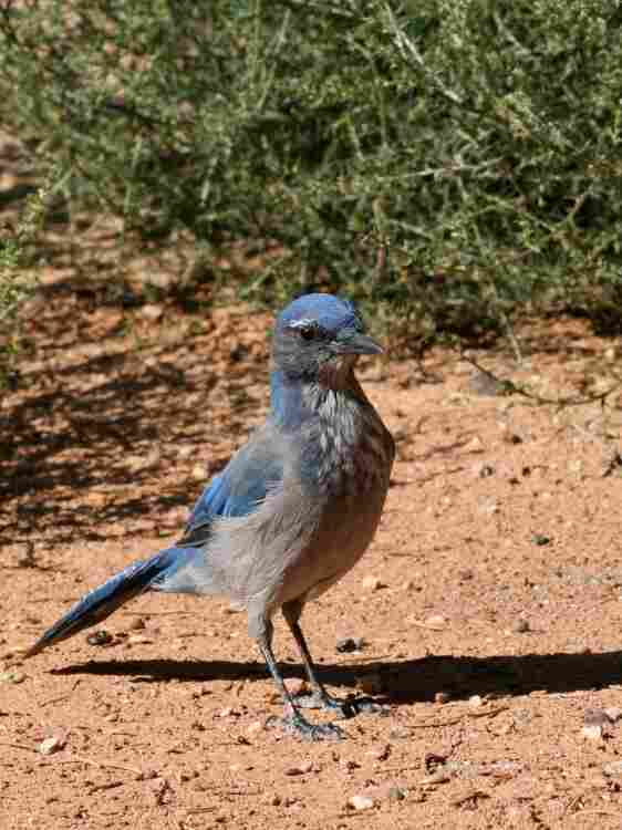 Western scrub jays are important dispersers of pinon pine seeds. A single individual may hide thousands of seeds in scattered caches in the ground.