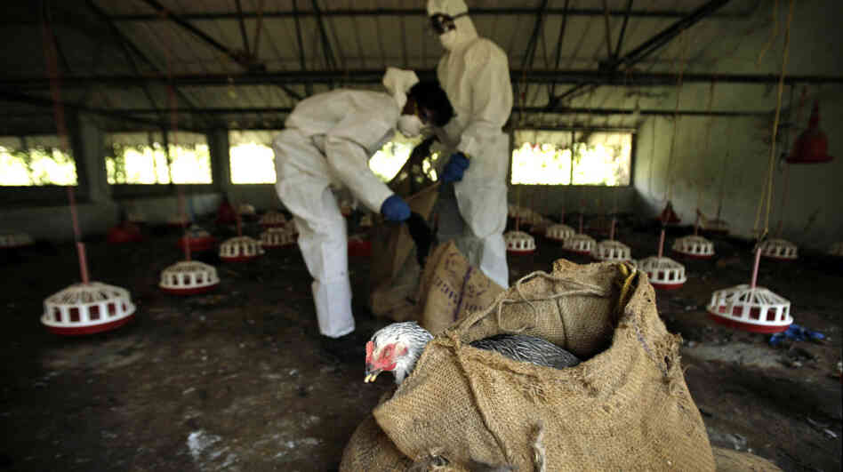 Health Department officials cull birds and put them in sacks after bird flu virus was detected in Bhubaneswar, India.