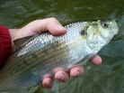 This hickory shad is fun to catch, but its cousin the American shad is the tastiest.