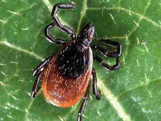 An adult deer tick, Ixodes scapularis, which is the kind that spreads Lyme disease in the Eastern U.S.