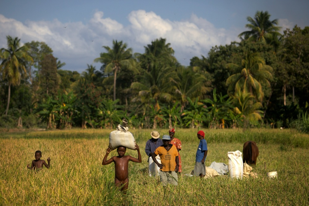 Rice farmers work the fertile fields of Haiti's rural Artibonite River valley, which lies downstream from the site of the original cholera outbreak.