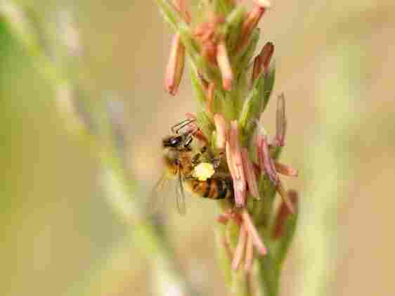 One class of insecticides makes an entire corn plant poisonous to many insects that feed on it, including bees.