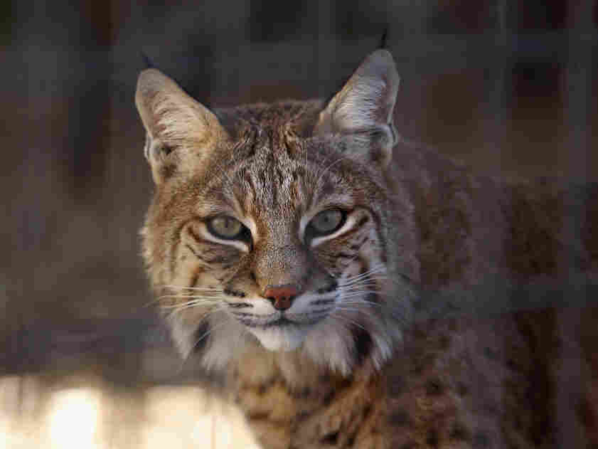 A rescued bobcat waits to be fed at a wild animal sanctuary  in Keenesburg, Colo.